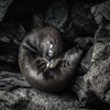 Endemic Fur Seal