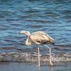 Immature Galapagos flamingo