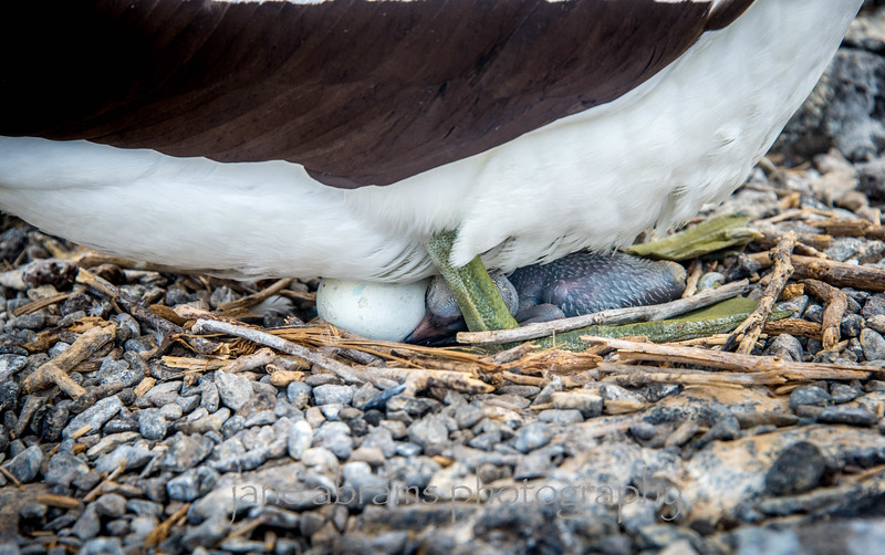 Nazca Booby, chick and egg