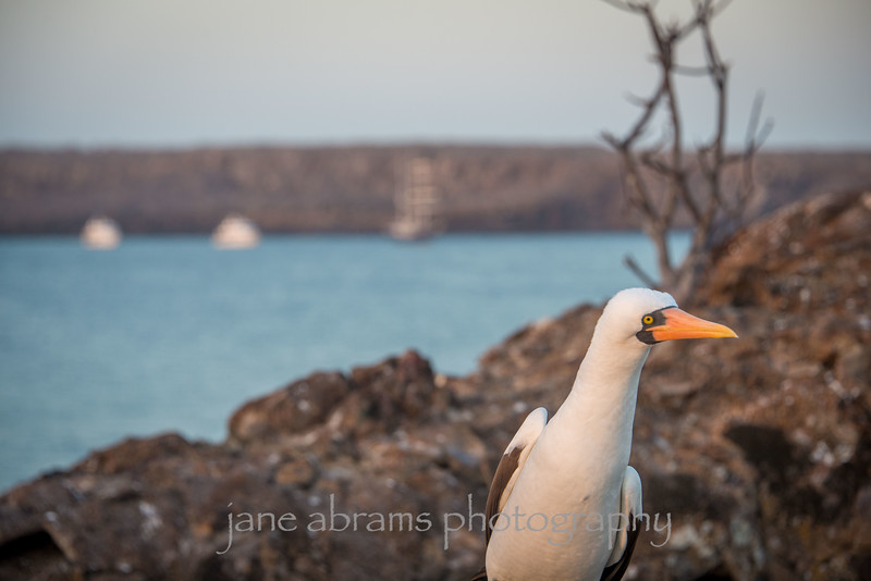 """Nazca Booby....""""who are you?"""""""