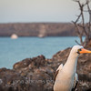 "Nazca Booby....""who are you?"""