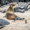 Sea lion giving birth with an audience
