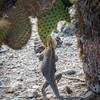 Land Iguana eating prickly pear