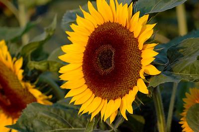 Sunflowers - Sonnenblumen