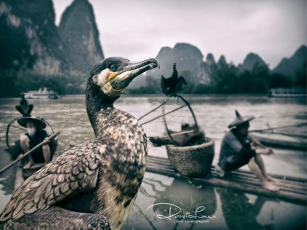 A proud cormorant