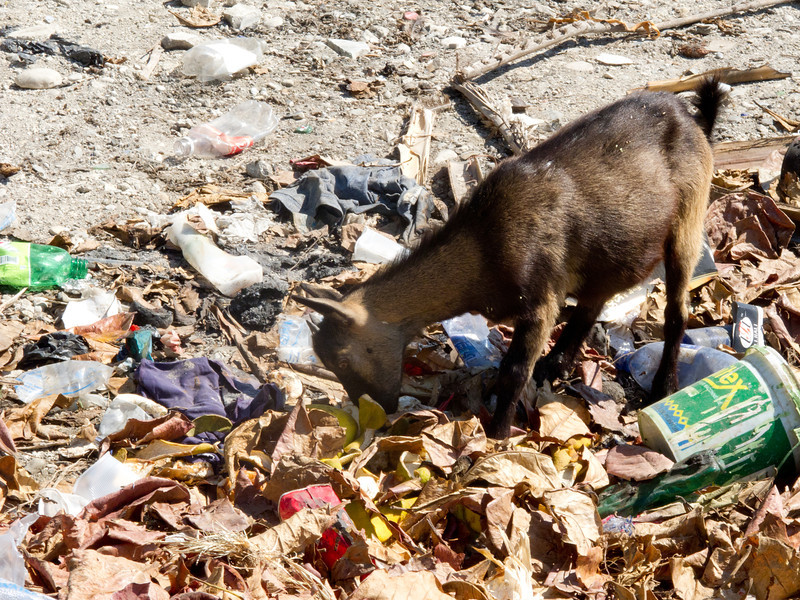 Goat in Trash Heap