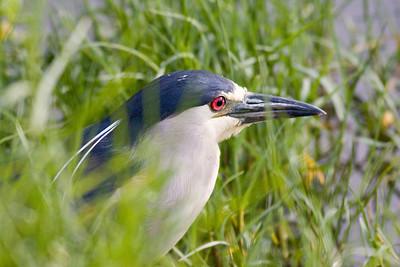 Black-crowned Night Heron  IMG_2522 rev 1