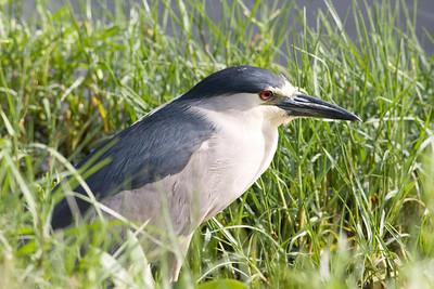 Black-crowned Night Heron IMG_2496 rev 1