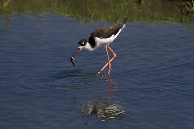 Black-necked Stilt IMG_0201