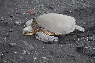 Green Sea Turtle IMG_0776