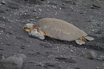 Green Sea Turtle IMG_0435