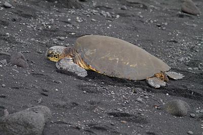 Green Sea Turtle at Black Sand Beach IMG_0435