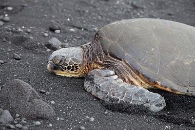 Green Sea Turtle IMG_0777