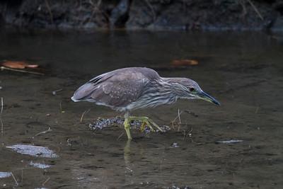 Black-crowned night heron IMG_9345