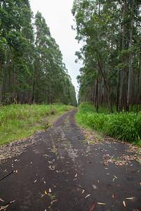 Eucalyptus Forest near Honokaa IMG_8347