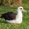 Laysan Albatross IMG_8148