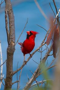 Northern Cardinal IMG_8307