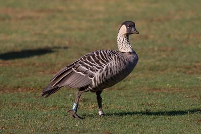 Hawaiian Goose(Nene) IMG_8008