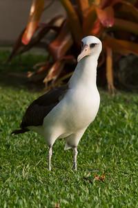 Laysan Albatross IMG_8156