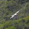 White-tailed Tropicbird IMG_8075