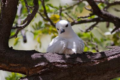 White Tern  IMG_8518