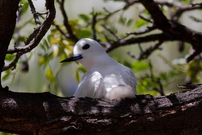 White Tern  IMG_8416