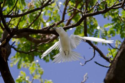 White Tern  IMG_8492
