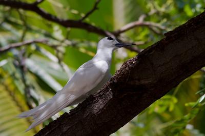 White Tern  IMG_8408