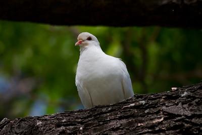 White Pigeon IMG_8473