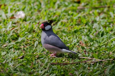 Java Sparrow IMG_8454