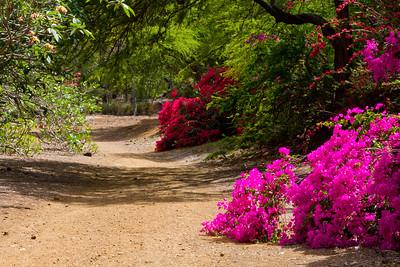 Bouganvilleas at Koko Crater Botanical Garden IMG_8624