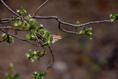 Kamehameha Butterfly IMG_7888