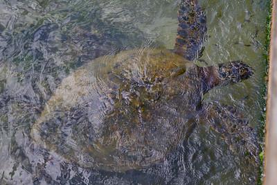 Green Sea Turtle at North Shore IMG_8797