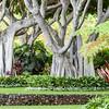 An Amazing Banyan Tree at Marriott Maui Hawaii