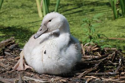immature Mute Swan