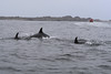 This pod of dolphins performed quite a few tricks while passing by...