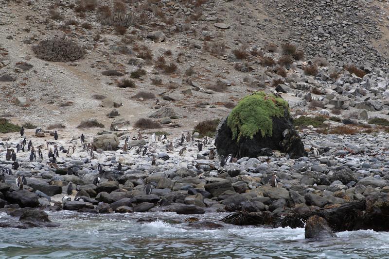 Many  more penguins