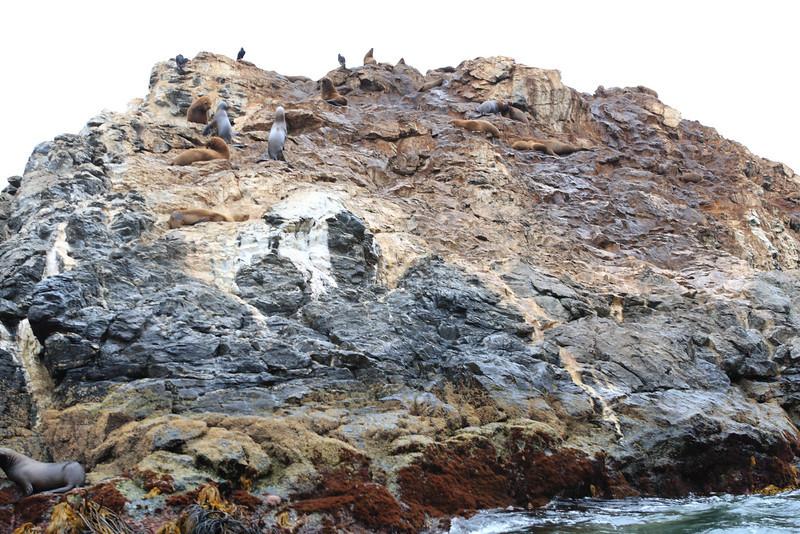 Lots more sea lions