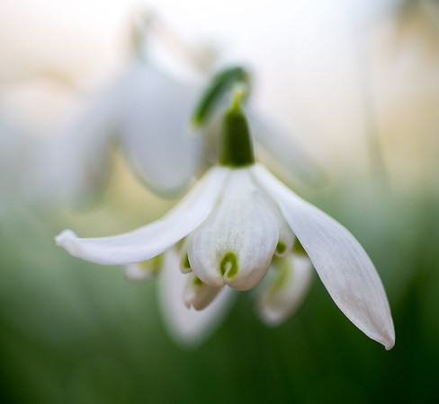 quiet beauty: snowdrop in winter