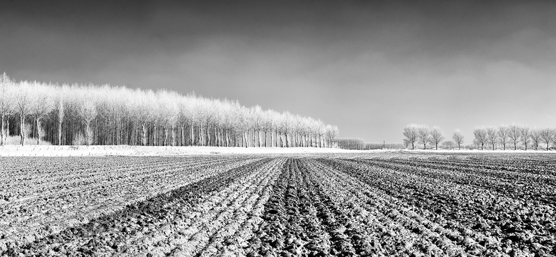 poplars and a field lying fallow