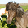Icelandic horse rocking a great hair style.