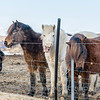 Icelandic horses 733