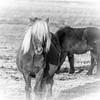 Icelandic horse 529