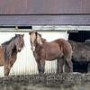 Icelandic horses 731