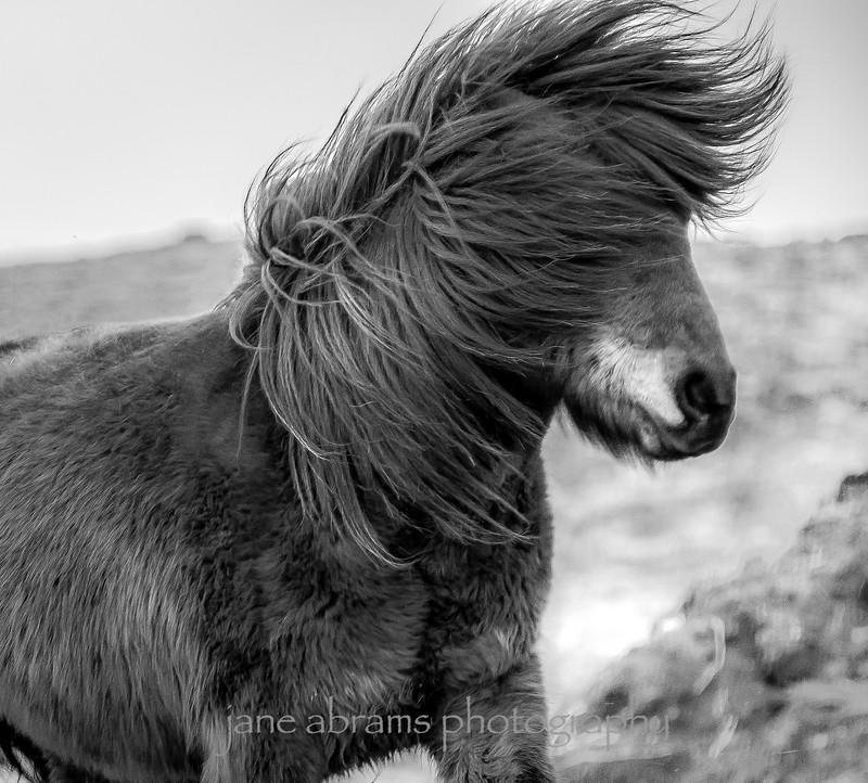 Icelandic horse 181