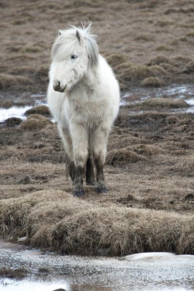Icelandic horse 185