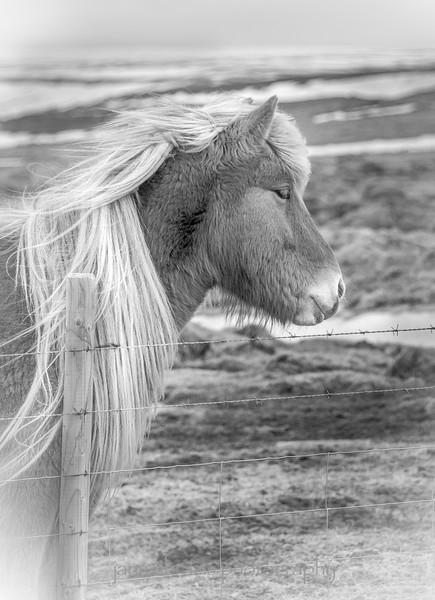 Icelandic horse 172