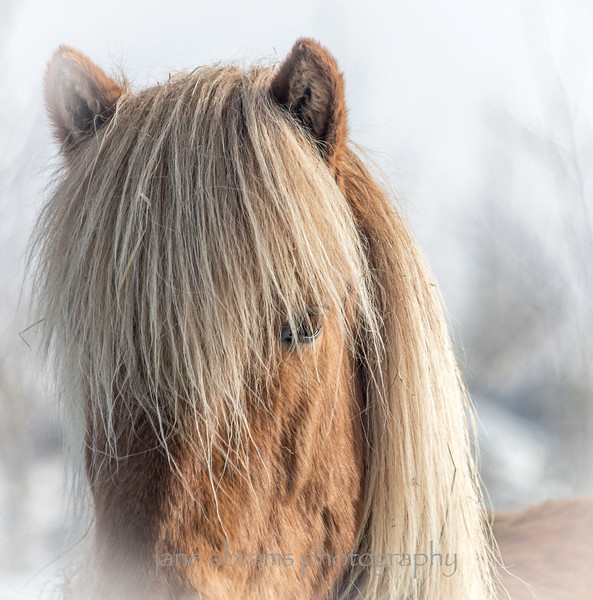 Icelandic horse 251