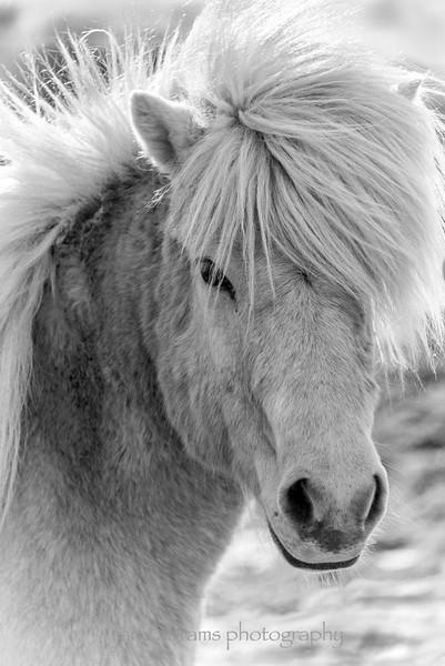 Icelandic horse 675