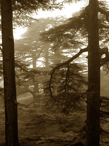 in the ancient ceder forest of Bcharre in northern Lebanon